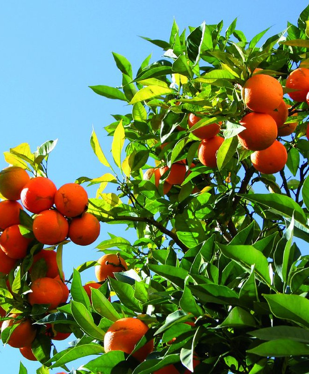 Orange tree Los Geranios Hotel
